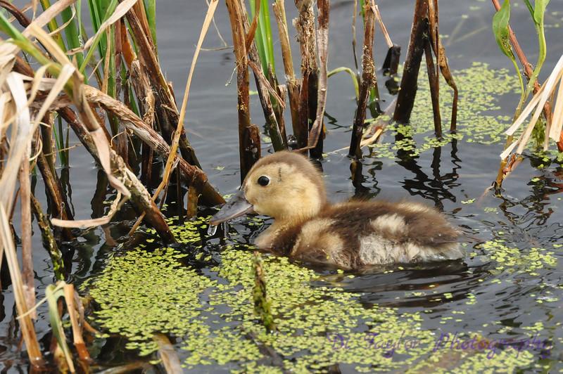Canvasback duck duckling