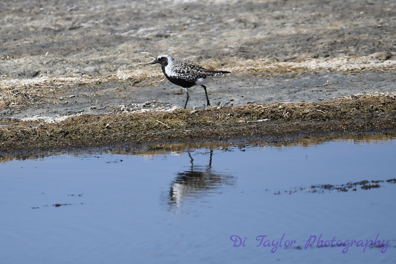 Black Bellied Plover 3 30 May 2019
