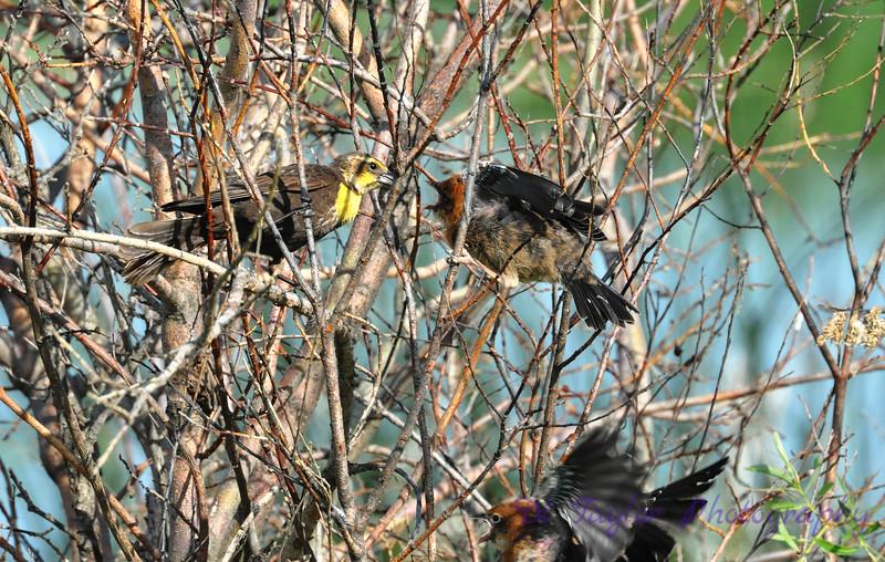Female Yellow-headed Blackbird & Jueveniles