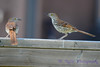 Brown Thrashes