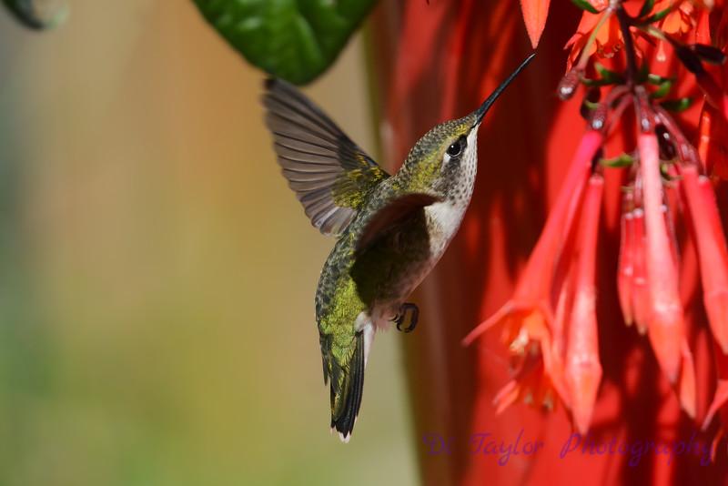 Ruby Throated Hummingbird in Fuschia 4
