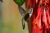 Ruby Throated Hummingbird in Fuschia 4