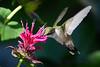 Ruby Throated Hummingbird in Beebalm