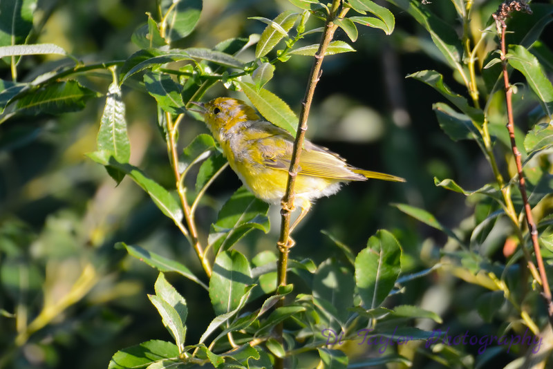 Baby yellow warbler