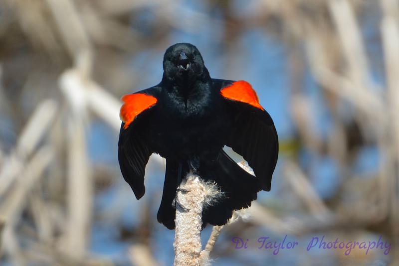 Red winged blackbird posturing