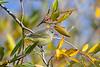 Tennessee Warbler 2 Sep 21 2020