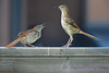 Brown Thrashes 2