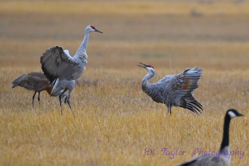 Sandhill Cranes Fall Migration 4 Sep 15 2018