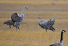 Sandhill Cranes Fall Migration 4 Sep 15 2018