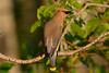 Cedar Waxwing  2  24 Jul 2017