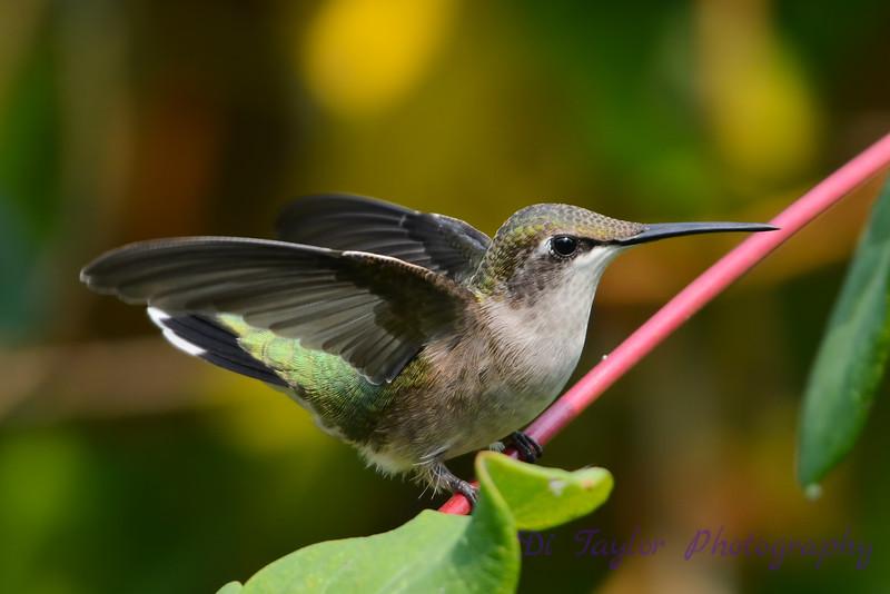 Female Ruby Throated Hummingbird on vine 2