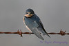 Barn Swallow juvenile 2  28 Jul 2017