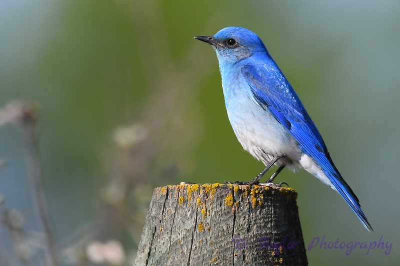 Mountain Bluebird 3  May 19 2018
