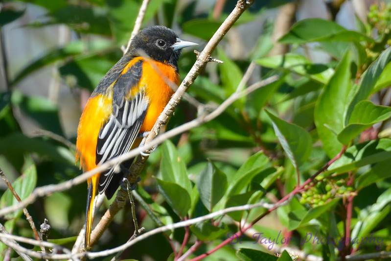 Baltimore Oriole male Aug 21 2017