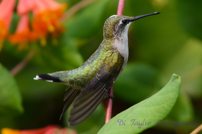 Female Ruby Throated Hummingbird sitting on vine 5