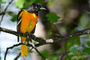 Baltimore Oriole Adult Male in Poplar Tree 3