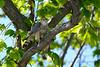 Merlin in tree 2