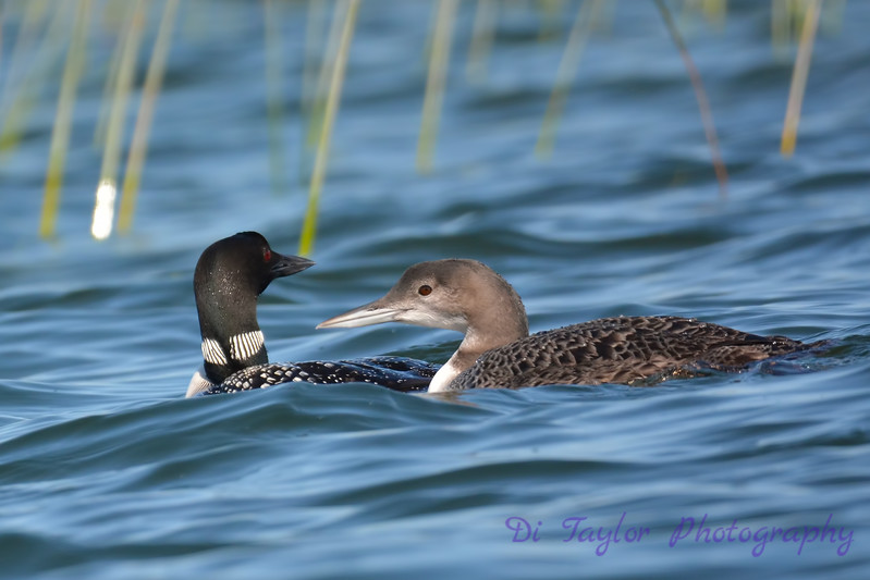 Common Loon adult and juvenile 6  Aug 26 2017
