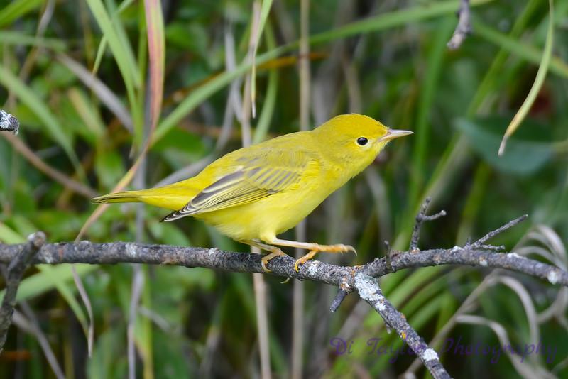 Yellow Warbler in poplar tree 4