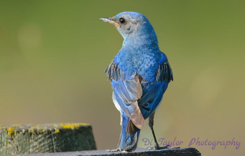 Mountain Bluebird male 2  28 Jul 2017