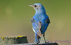 Mountain Bluebird male 2  28 Jul 2017