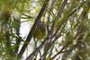 Blackpoll Warbler Sep 10 2020