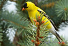 Goldfinch in pine tree 2
