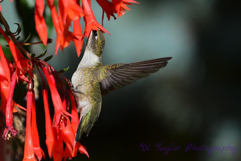 Ruby Throated Hummingbird in Fuschia 7