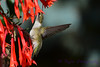 Ruby Throated Hummingbird in Fuschia 7