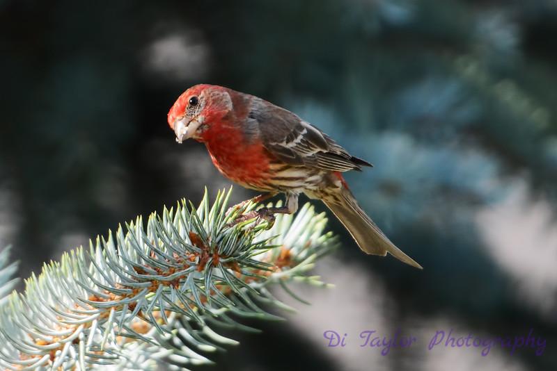 Male House Finch in pine tree 2