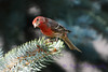 Male House Finch in pine tree 2