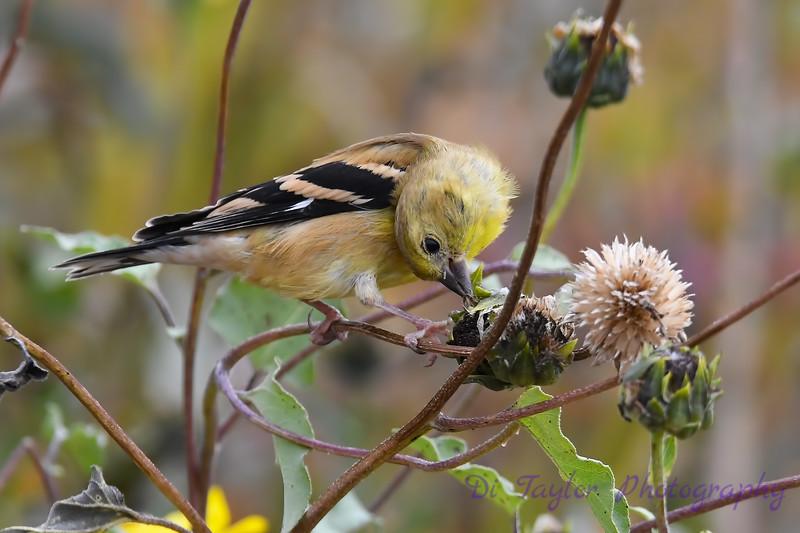 American Goldfinch juvenile 4  Sep 15 2018