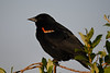 Red Winged Blackbird male July 13 2018