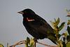 Red Winged Blackbird male July 13 2018