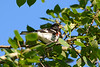 Rose-breasted Grosbeak 2