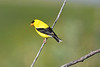 American Goldfinch male 12 July 2020