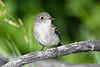Least Flycatcher 4  22 Jul 2019