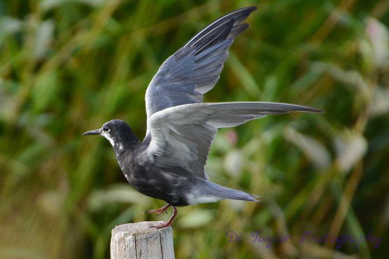 Black Tern mottled black variation landing