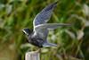 Black Tern mottled black variation landing