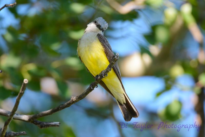 Western Kingbird 6