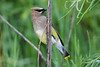 Cedar Waxwing 2 July 19 2020