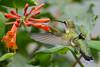 Female Ruby Throated Hummingbird with honeysuckle trumpet flower 33