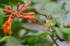 Female Ruby Throated Hummingbird with honeysuckle trumpet flower 33