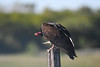Turkey Vulture 2  June 16 2018