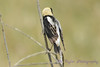Bobolink male from back