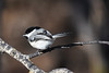 Black capped chickadee April 22 2018
