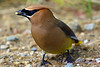 Cedar Waxwing finishing supper