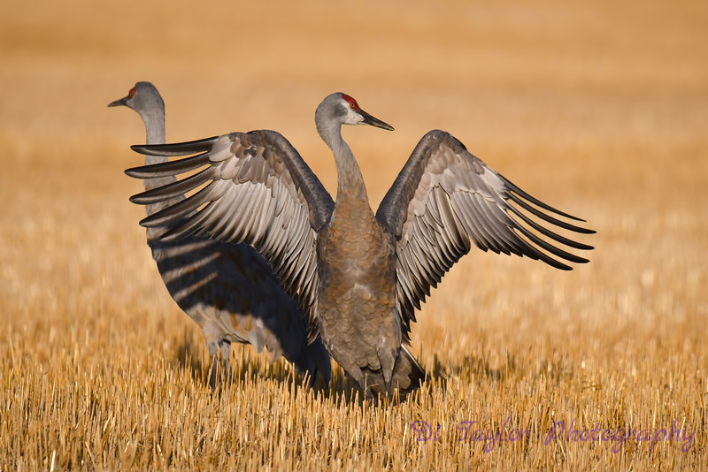 Sandhill Crane getting ready to jump Oct 7th 2018