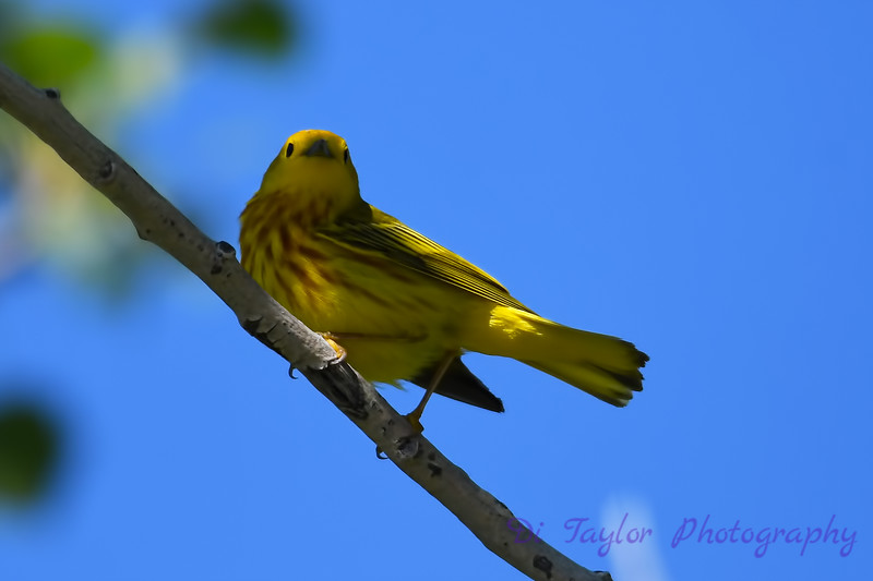 Yellow Warbler Male  3 July 2 2018