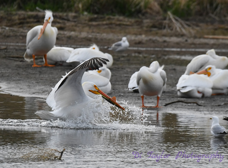 American White Pelican male 24 May 2019